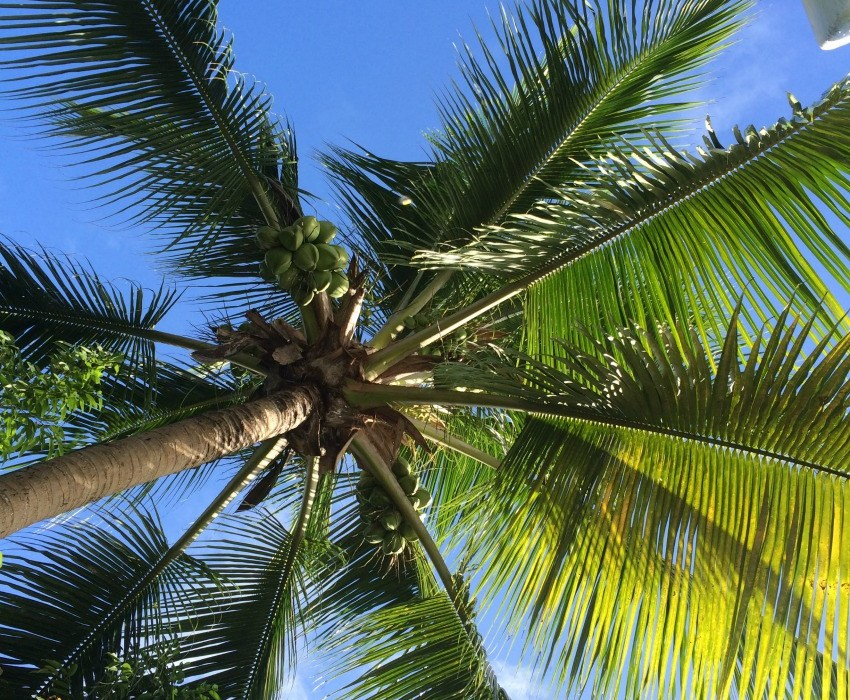 The Joy Of Coconut Trees Another Rum Punch